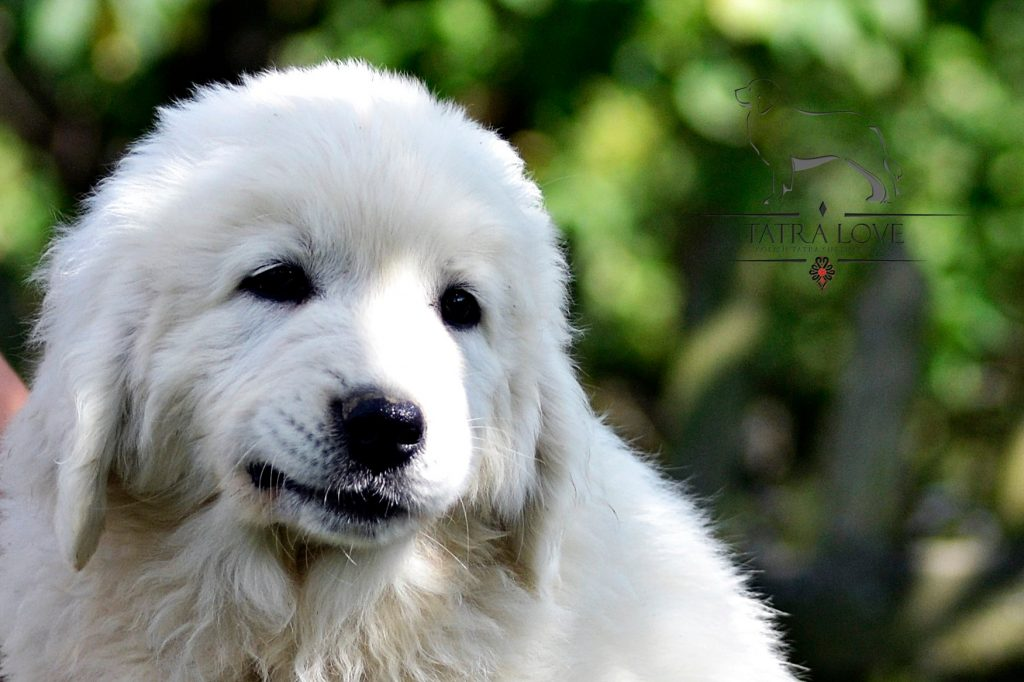 polish tatra shepherd puppy for sale