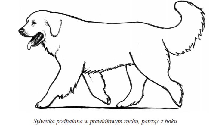 owczarek podhalański kłus tatra love hodowla