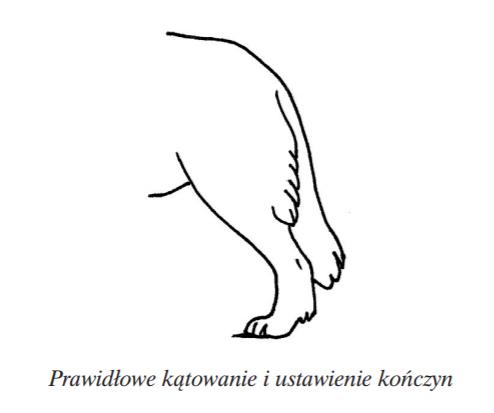 owczarek podhalański - tył kątowanie tatra love hodowla