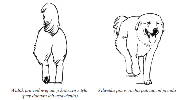 polski owczarek podhalański w ruchu tatra love hodowla