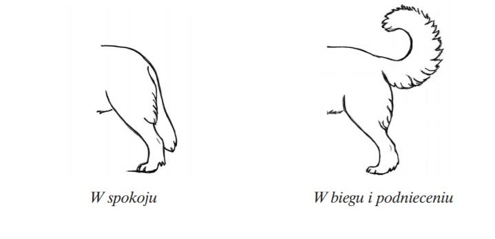 owczarek podhalański ogon tatra love hodowla