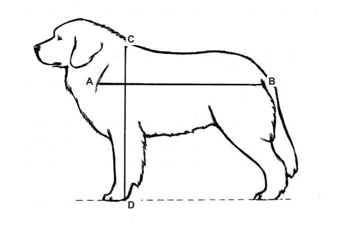 owczarek podhalański - proporcje - tatra love