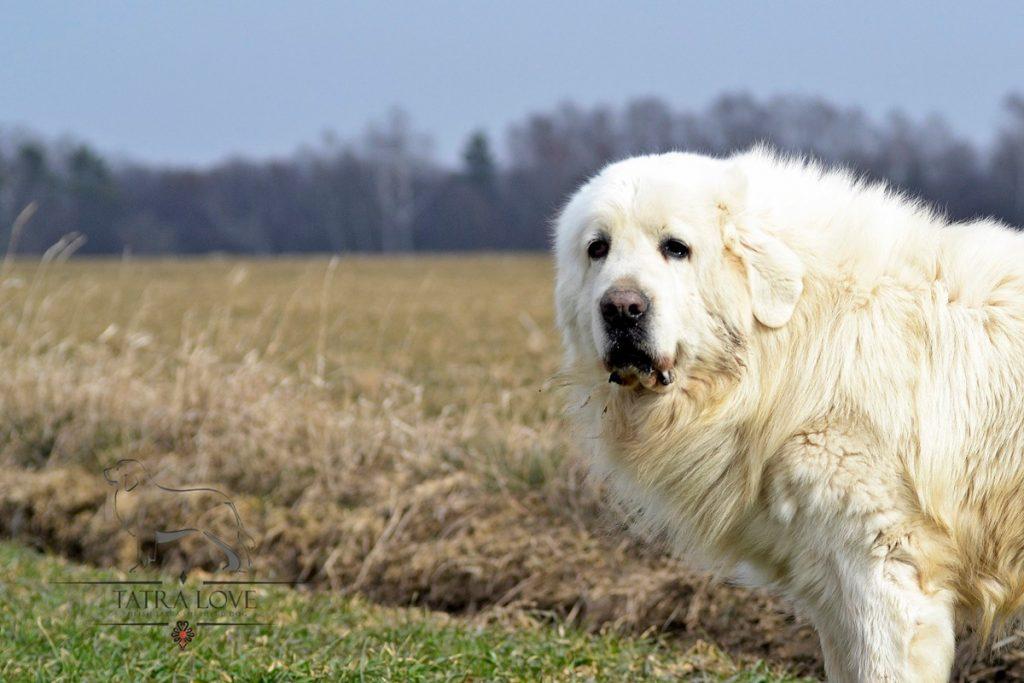 FILO Duży Biały Pies - Polski Owczarek Podhalański